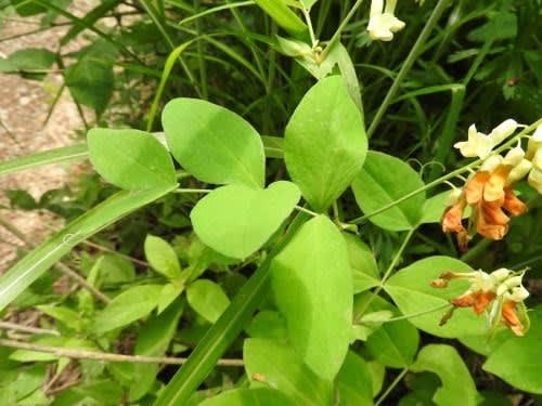 高ボッチ高原・鉢伏山で最近咲いている花 イタチササゲ(鼬ささげ・鼬大角豆)