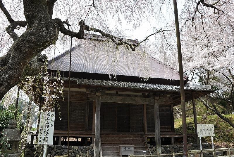 室生西光寺堂と枝垂桜