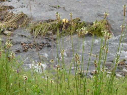 ヘラオオバコ (箆大葉子).の花