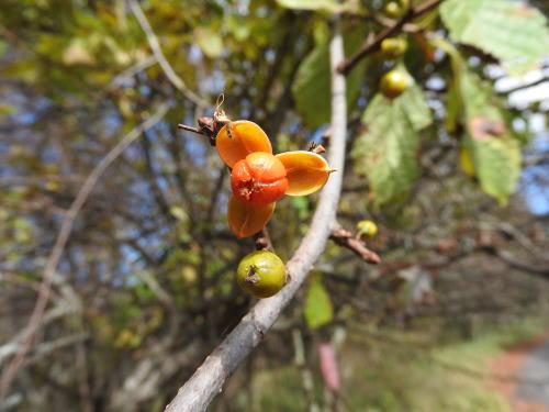 高ボッチ高原・鉢伏山で最近見る事の出来る実・種 オニツルウメモドキ(鬼蔓梅擬)