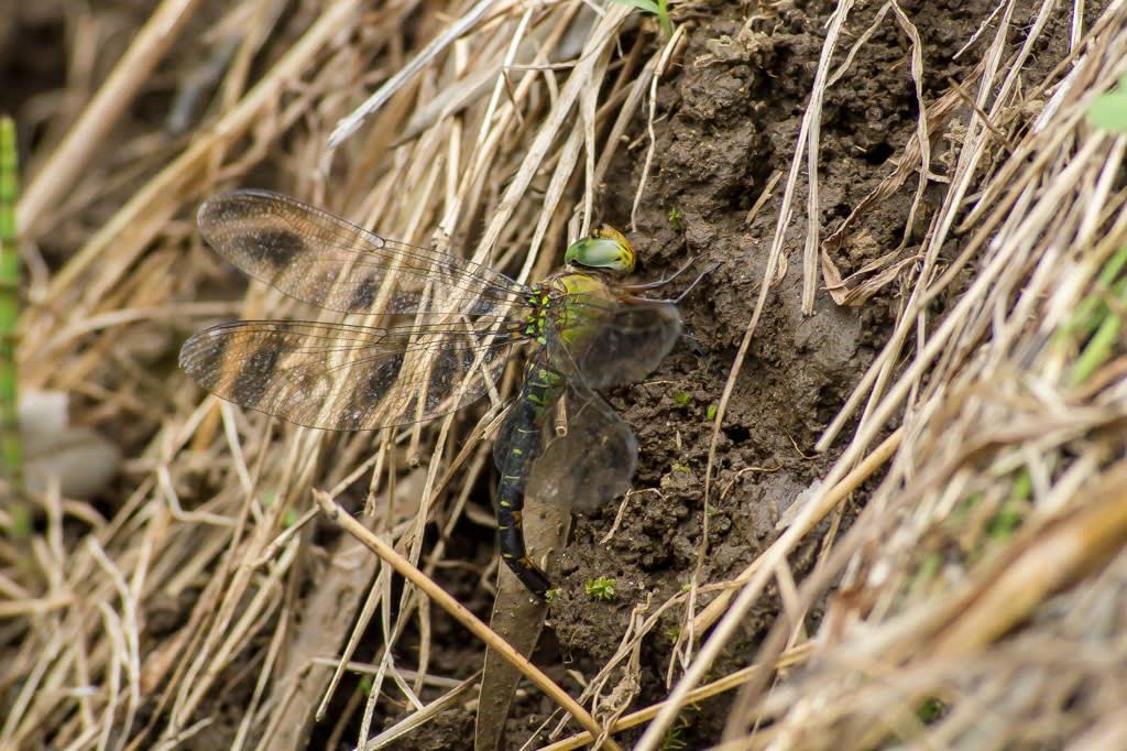 カトリヤンマの産卵の写真