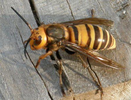 オオスズメバチ撮影2010年11月15日@ボッケニャンドリ家 ここのとこ... 大雀蜂(オオスズ