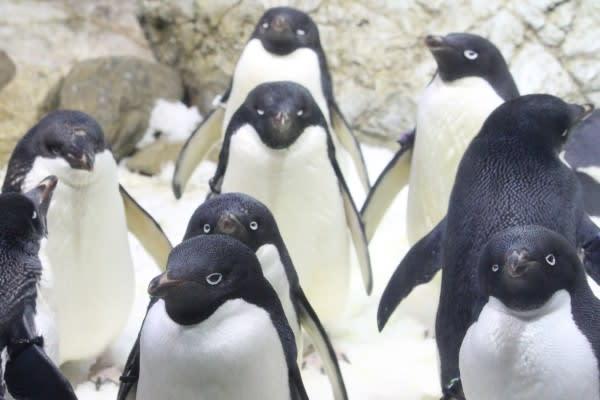 アデリーペンギンの画像 p1_34