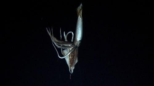 ダイオウイカの画像 p1_9