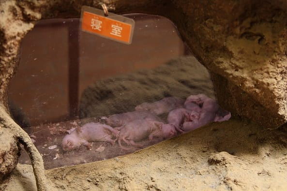 ハダカデバネズミの画像 p1_37