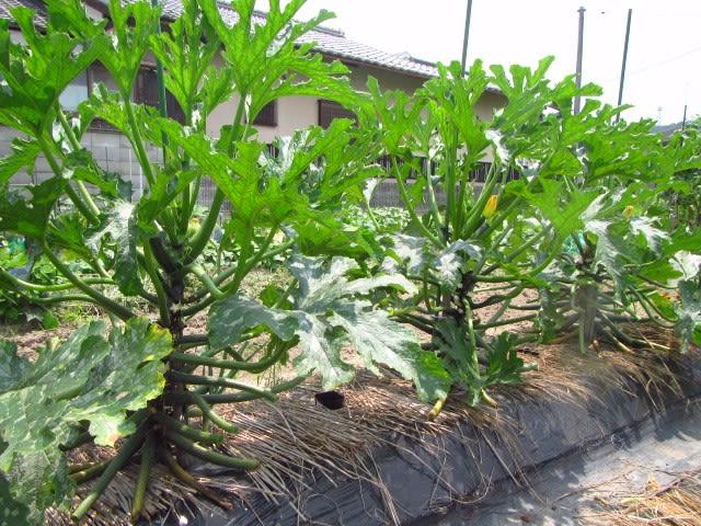 ズッキーニ 栽培 支柱の立て方