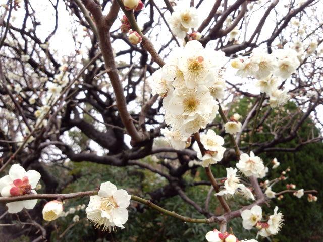 梅は咲いたが…
