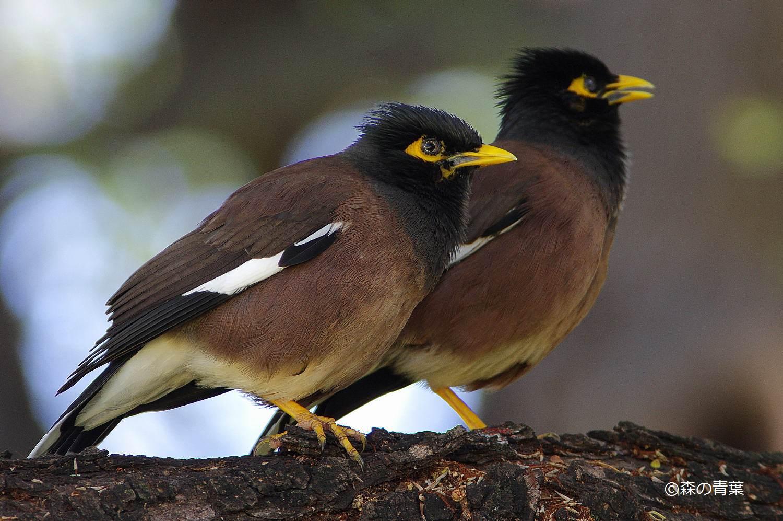 ○ハワイの野鳥(The Birds in Ha...