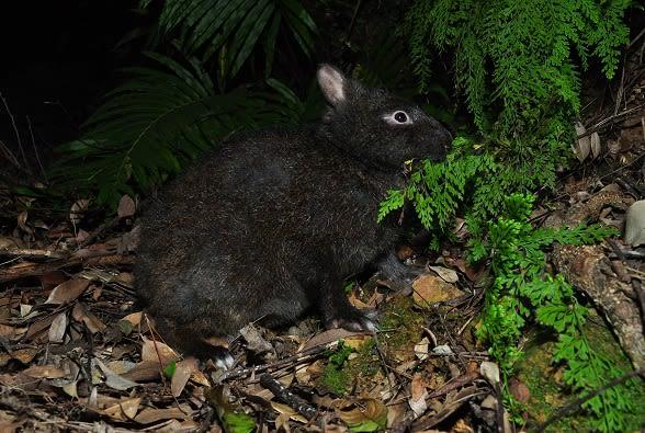 アマミノクロウサギの画像 p1_24
