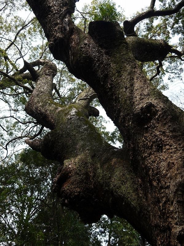 樟の巨樹枝