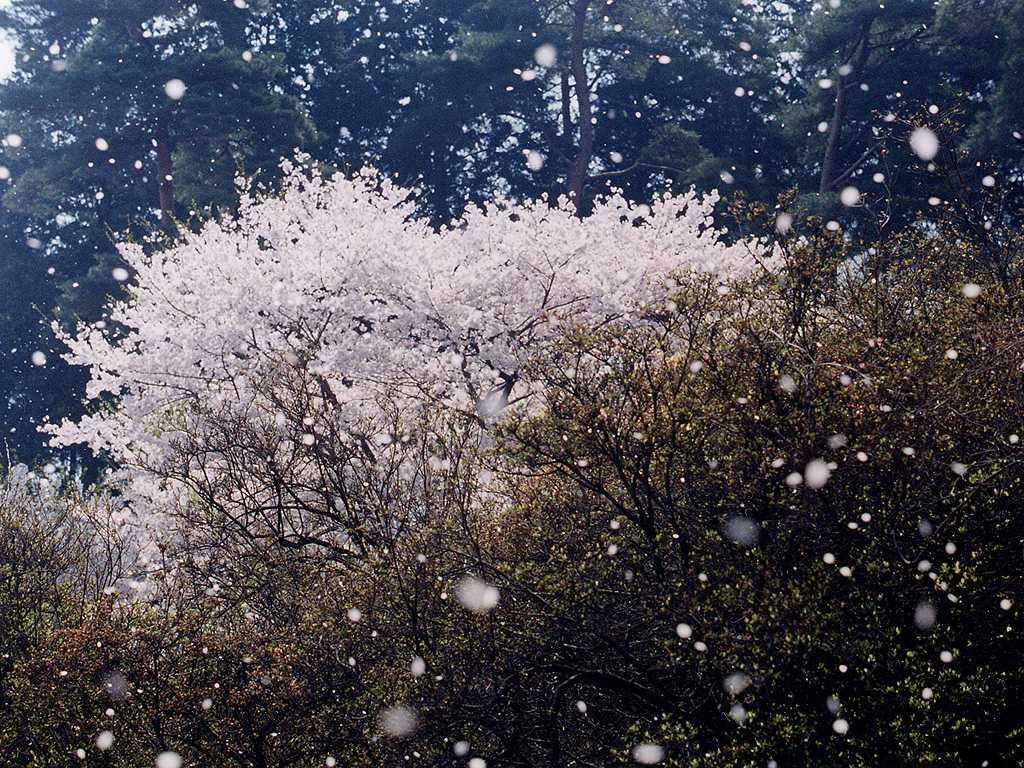 桜の画像 p1_21