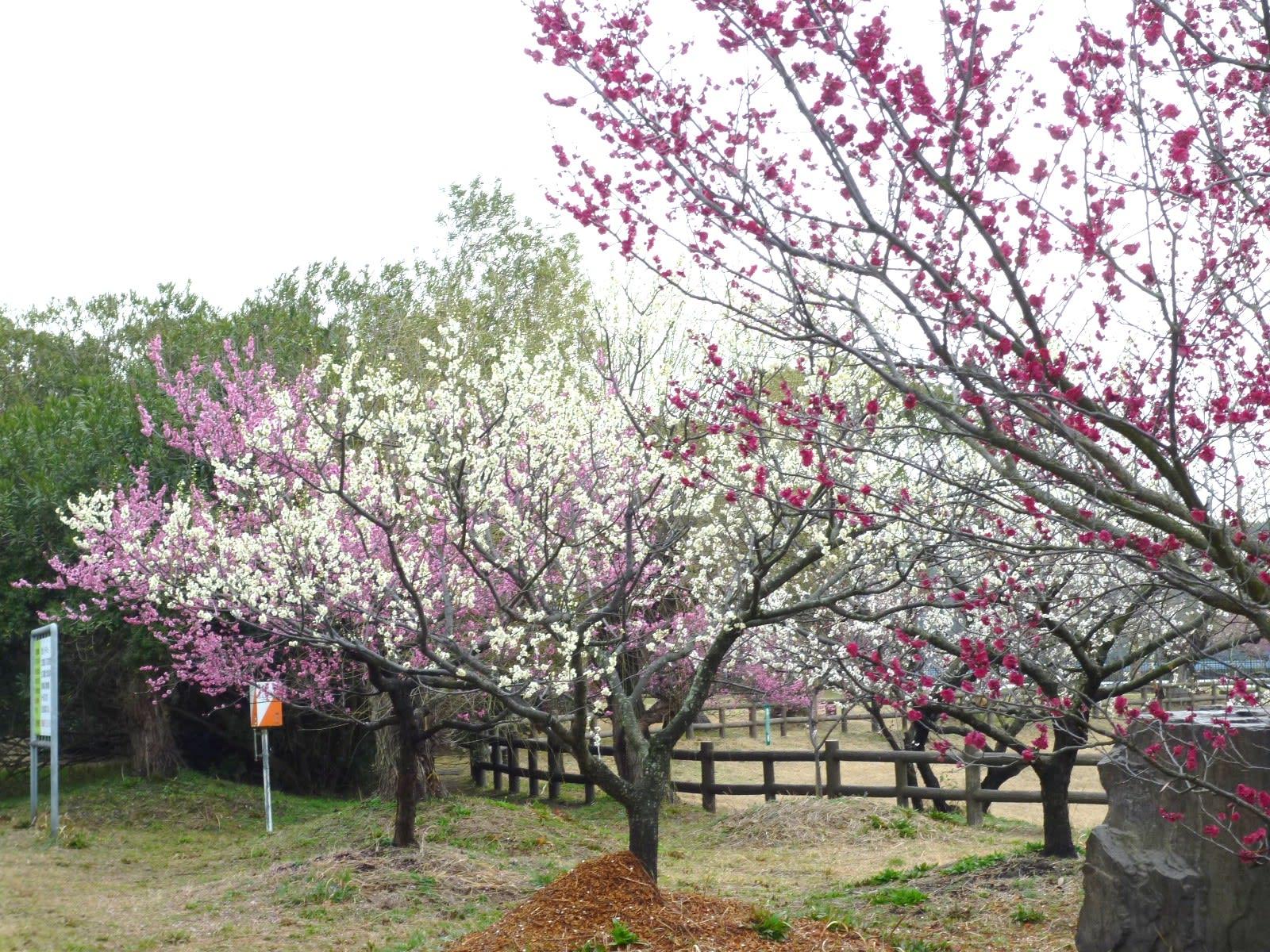 佐布里の梅の画像