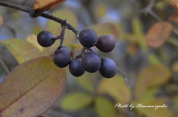 イボタノキ(水蝋樹、疣取木) モクセイ科 イボタ属 落葉低木。 ジャン... イボタノキ(実)
