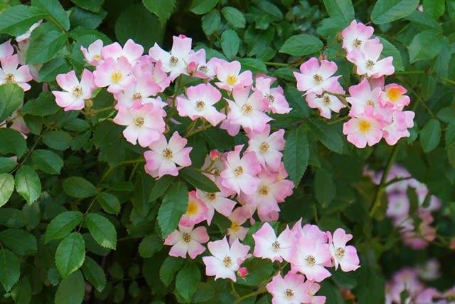 4)薔薇(いちよう)