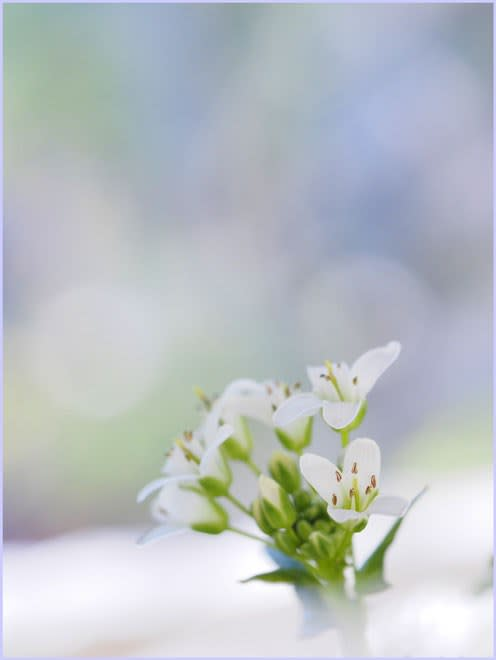 可憐なわさびの花
