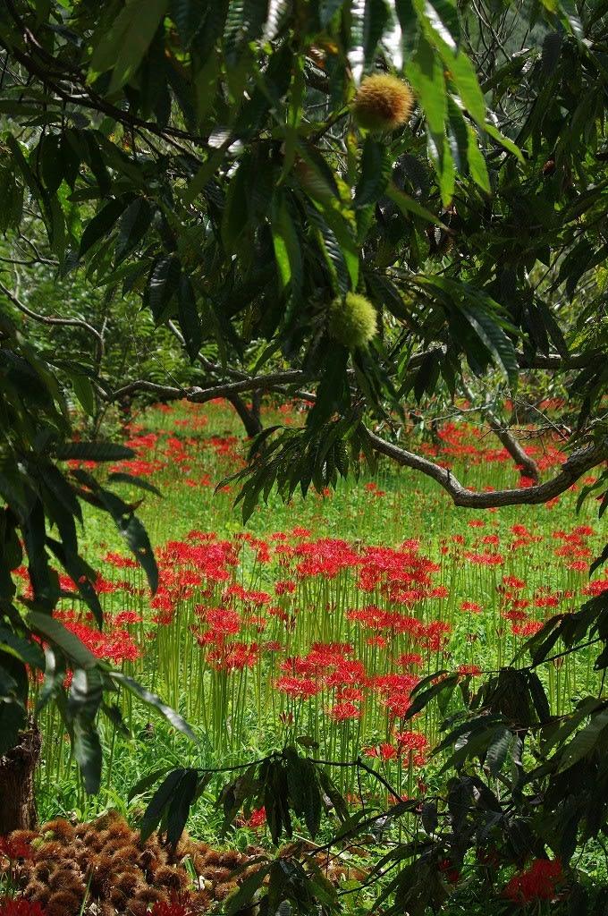 吉賀町の栗林にひがん花 - ちょうせんデジカメ