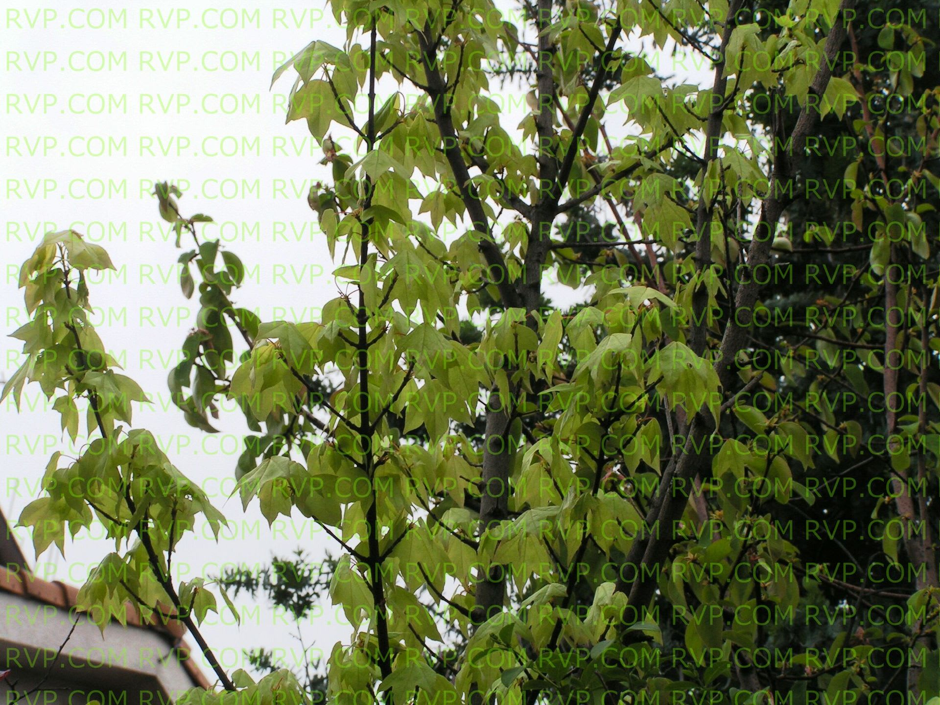 花散里の画像 p1_6