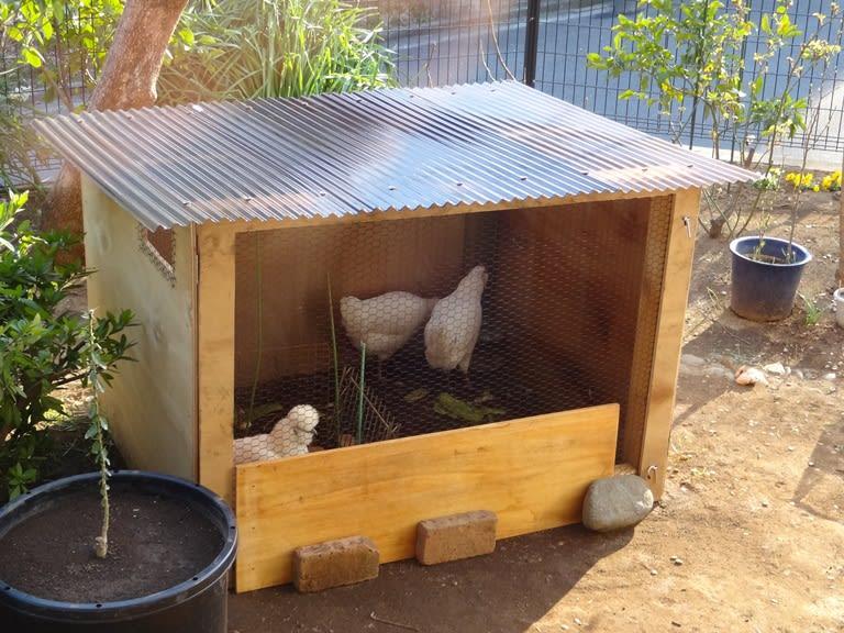 ↑アローカナ交雑種 ↑烏骨鶏 そもそもなぜニワトリを買うことになったか...  家の庭で品種改良