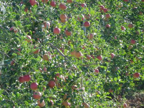撓に実った林檎