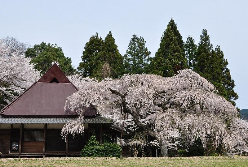 室生西光寺と枝垂桜