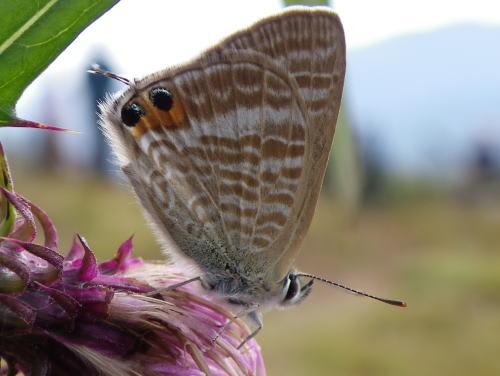 ウラナミシジミ(裏波小灰蝶)