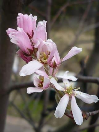 ジューンベリー・ロビンヒルの花