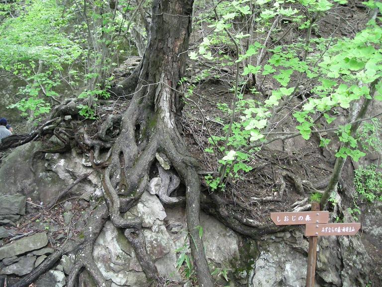 「シオジの森と雨坊主山の分岐」