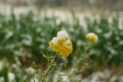菜の花に薄雪