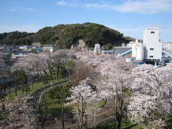 北久里浜桜まつり