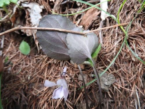 高ボッチ高原・鉢伏山で最近咲いている花 ゲンジスミレ(源氏菫)