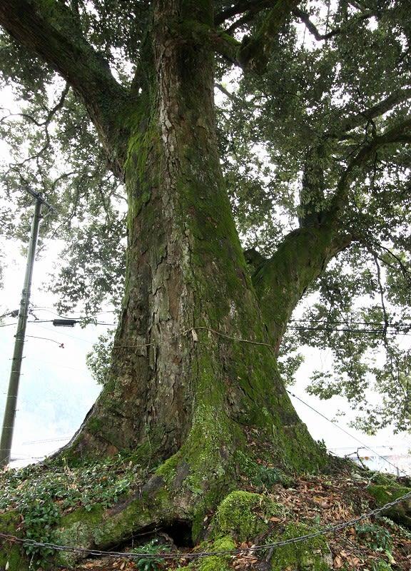 巨樹、巨木巡礼