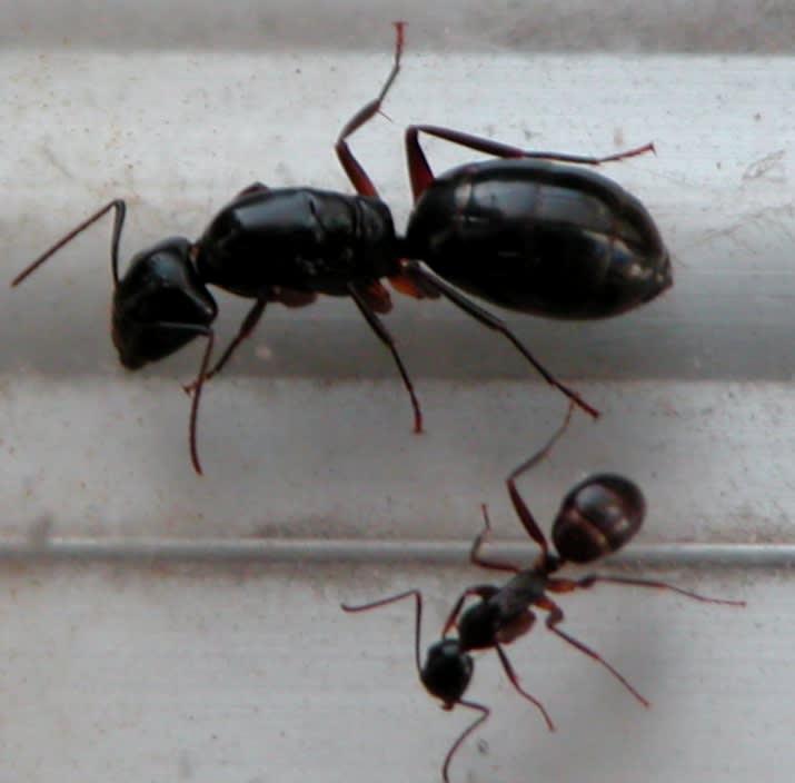 898 酷寒越冬 ミカドオオアリ - 蟻取物語 ブログ ログイン ランダム ロボットのメディア始