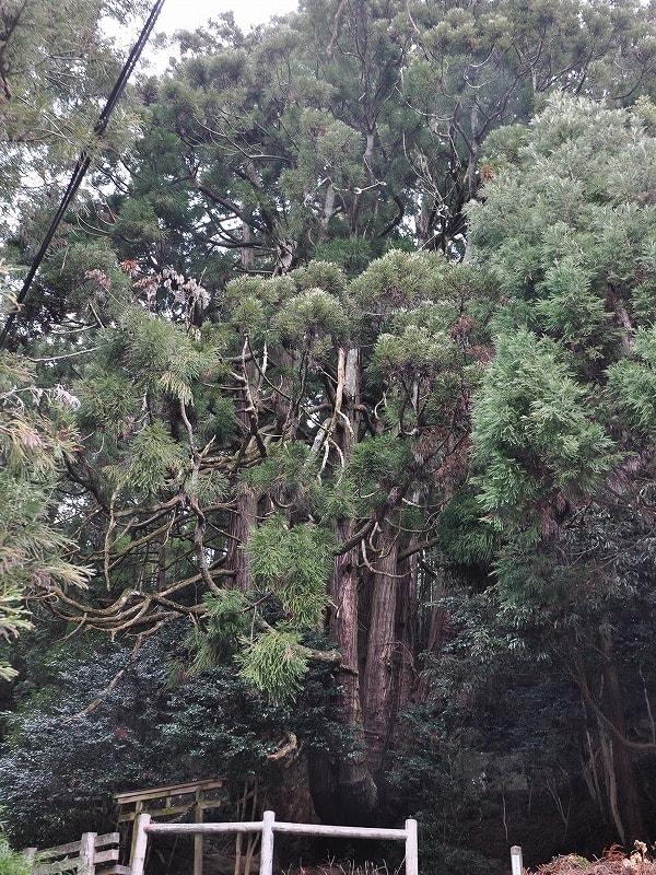 高井の千本杉全体