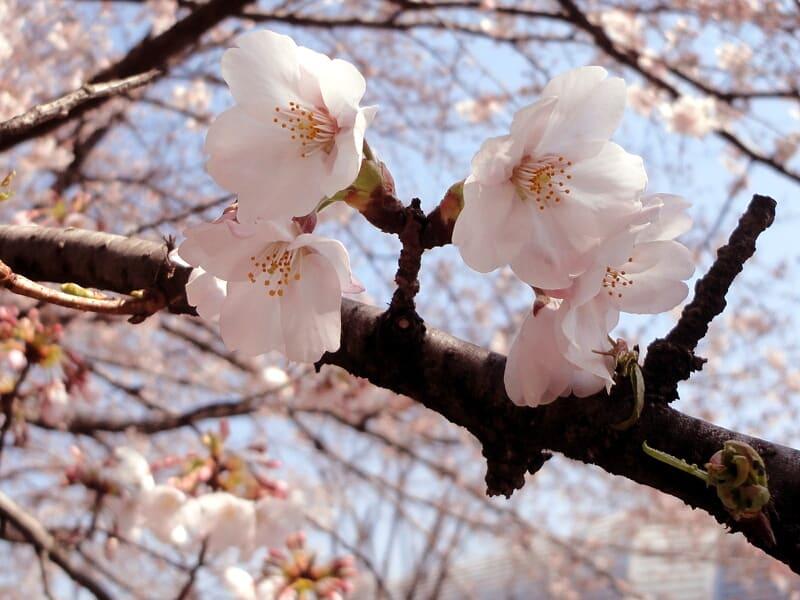 04月04日 桜
