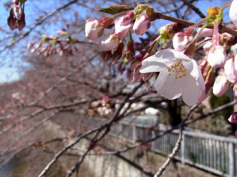 03月27日 桜と蕾