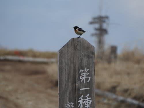 高ボッチ高原・鉢伏山で見た鳥 ノビタキ(オス)