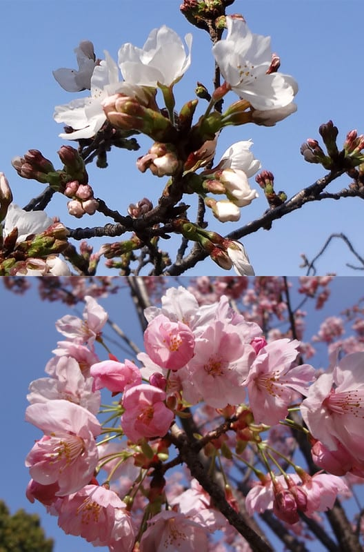 Cherry_and_peach_blossom_at_march_2