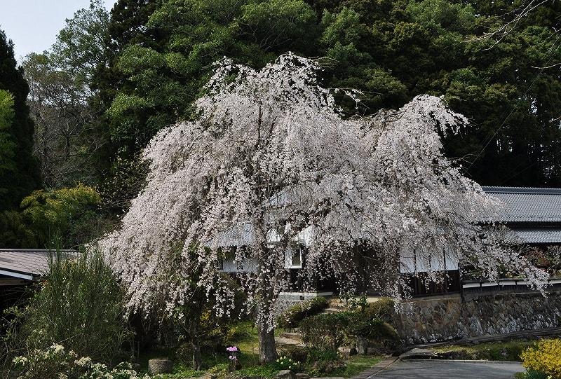 室生山上公園南ゲート前の枝垂桜