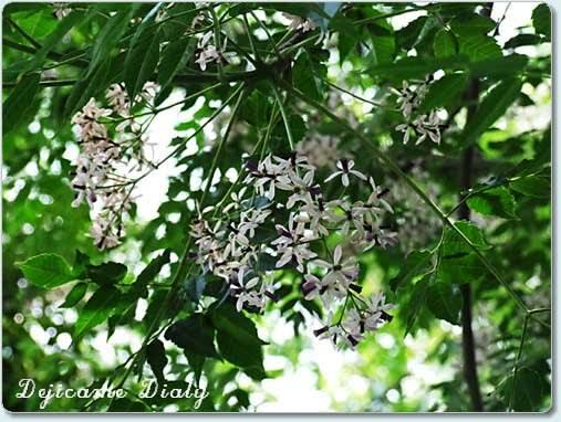 栴檀(せんだん)の花 - デジカメ日記