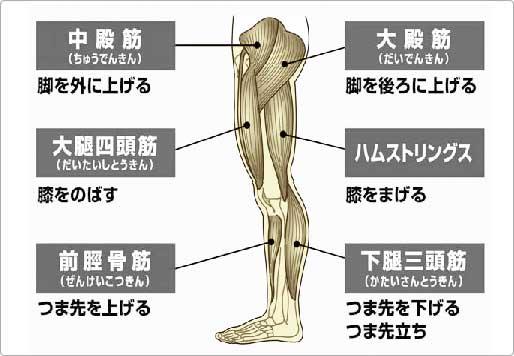 「大腿四頭筋 ハムストリングス」の画像検索結果