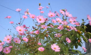 コスモス コスモス・アキザクラ(秋桜)・オオハルシャギク(大春車菊・大波斯菊) - 花の名前・木