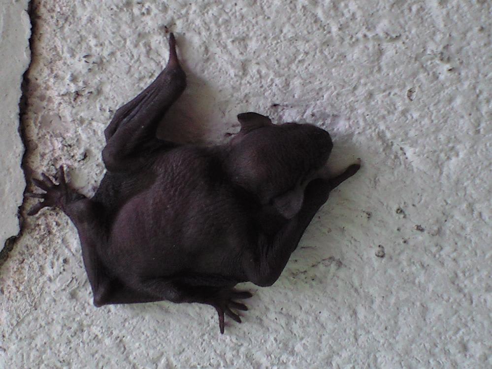 アブラコウモリの画像 p1_8