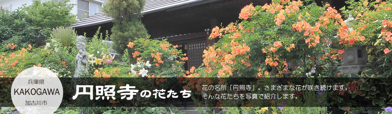 かこがわ円照寺の花たち