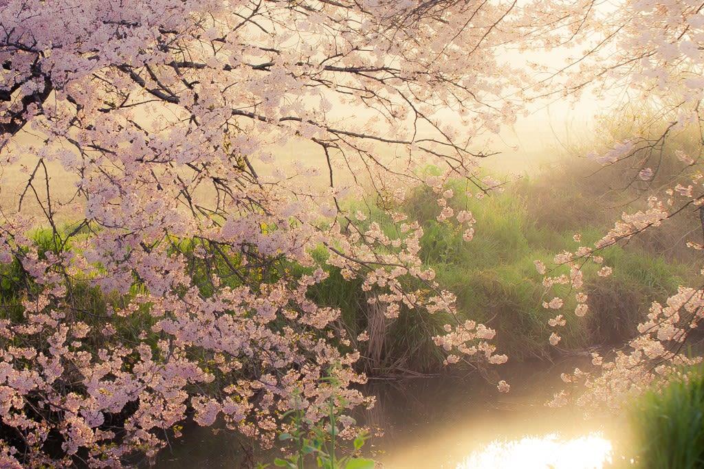 金山落し/今井の桜