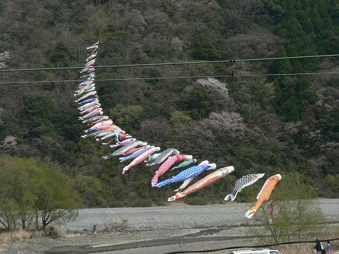 大井川を泳ぐこいのぼり