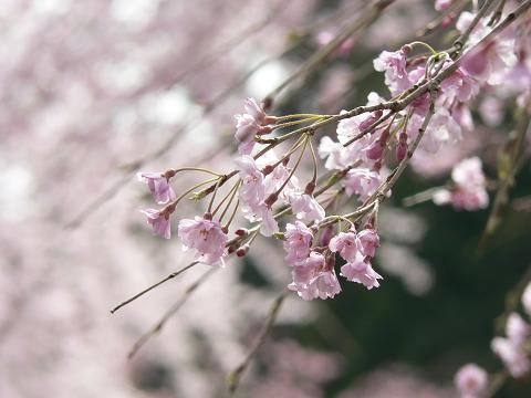 駿河徳山のしだれ桜
