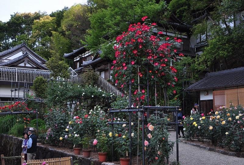 松尾寺のバラ園