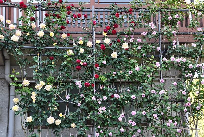 松尾寺のバラ棚