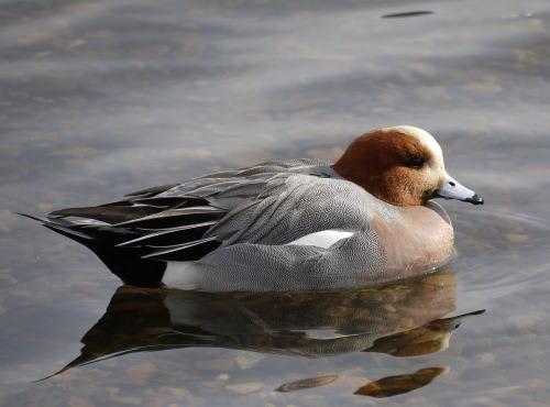 諏訪湖のヒドリガモ (緋鳥鴨)の雄
