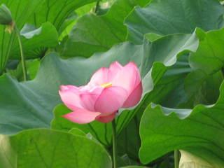「蓮の花1」